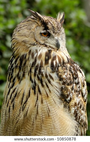 The portrait of great horned owl (Bubo virginianus) on the blurred background of green leaves. - stock photo