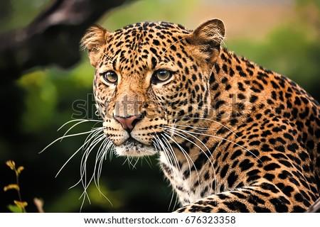 The portrait of Javan leopard\n