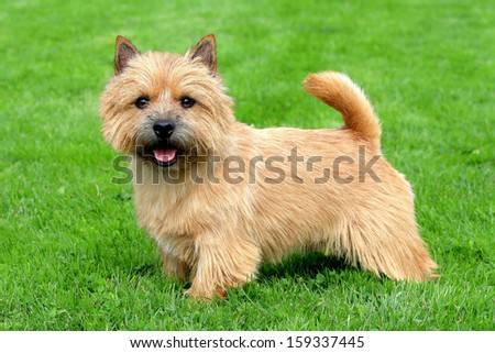 The portrait of Norwich Terrier in a garden #159337445