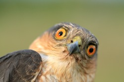 The portrait of sparrow-hawk close-up.