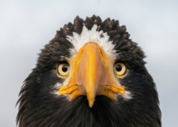The portrait of Steller's sea eagle (Haliaeetus pelagicus). The Steller's Sea Eagle is the heaviest bird of prey in the world