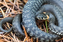 The portrait of the grass snake (Natrix natrix), sometimes called the ringed snake or water snake, is a Eurasian non-venomous colubrid snake