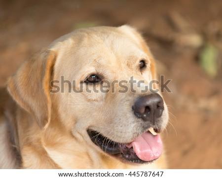 The portrait of young labrador retriever #445787647