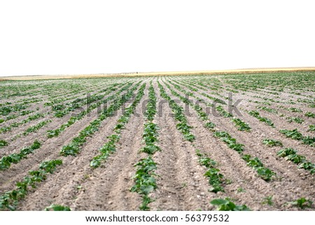 The potato in the field blossoms background - stock photo