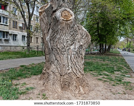 The Powerful Old Elm Trunk Is Dotted with Deep Furrows and Cracks. Last Year's Sections Are Overgrown with Bark Stock fotó ©