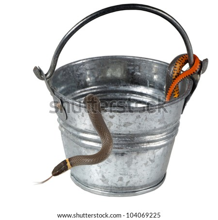 The Prairie Ring-necked Snake (Diadophis punctatus Arnyi) crawls out of the iron bucket  isolated on a white background