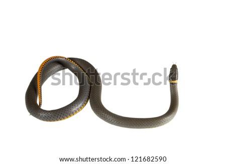 The Prairie Ring-necked Snake (Diadophis punctatus Arnyi)  isolated on a white background