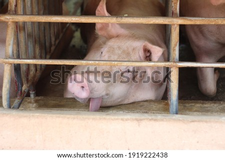 The pregnant sows look weary in the steel cages of the gestation unit of a commercial pig farm. Stock photo ©