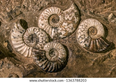 The prehistoric fossil group of Asteroceras stellare, True Star Ammonite. Stockfoto ©