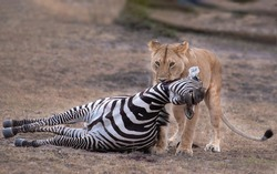 The prey and the predator ,lion hunted zebra