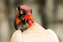 the prince raptor closeup in ecuadorian amazonia