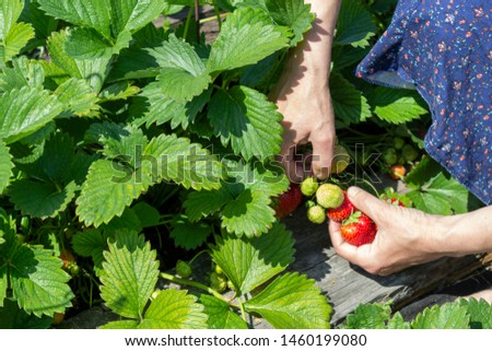 The process of picking strawberries. Hands spreading the greens to get to the ripe and tasty berries and collect them in a bowl