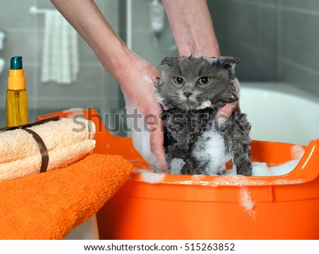 The process of washing the cat in the bathroom. Wet, scared and unhappy cat, a human hand, a lot of suds
