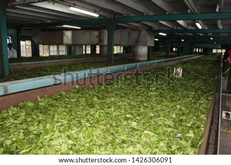 The production and making of tea