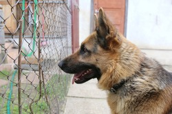The profile of a dog of breed Shepherd dog who is in the yard against the background of doors looks through an iron grid of a fence.