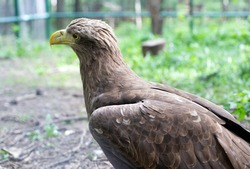 The profile of an eagle with a yellow beak and beautiful feathers. Bird of prey