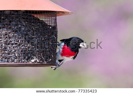 the prominent colors are in display of a rose-breasted grosbeak as it hangs onto a sunflower seed feeder while eating.  background consists of shallow focus of pinks, whites and greens of redbud trees