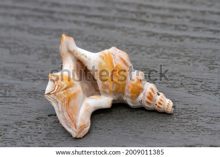 The pronounced lip on the shell of the Pelican's Foot makes this elegant shell unmistakable. The lip is used to stir up muddy sediments for feeding below the low tide level Stock photo ©