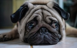 The Pug dog is in a lonely mood. It is hoped the boss will come back soon.