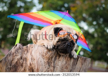 The pug dog playing glider.(Pug dog wearing a kite on back of them.)