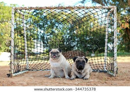 The pug keeper.(The pug dog lying in the Goal.)
