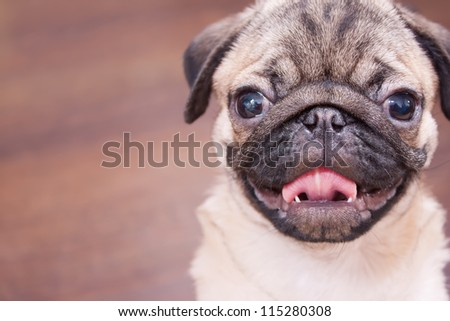 The pug puppy closeup.