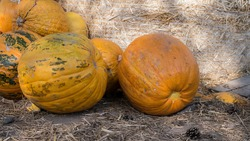 The pumpkin is ripe close-up,harvest.