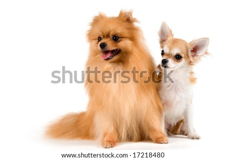 The puppy chihuahua and spitz-dog in studio