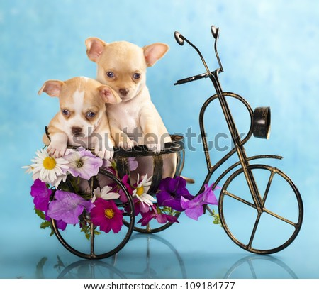 The puppy chihuahua on a bicycle in studio