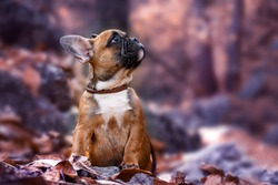 the puppy French bulldog red autumn