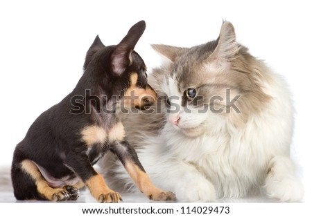 the puppy looks at a cat. isolated on white background