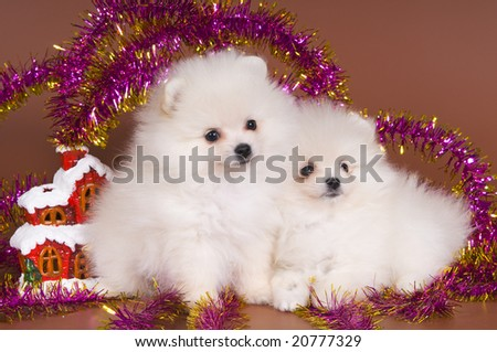 The puppy of a spitz-dog meets New Year