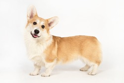 The puppy of breed of the Welsh Corgi of red color costs and looks having turned the head.