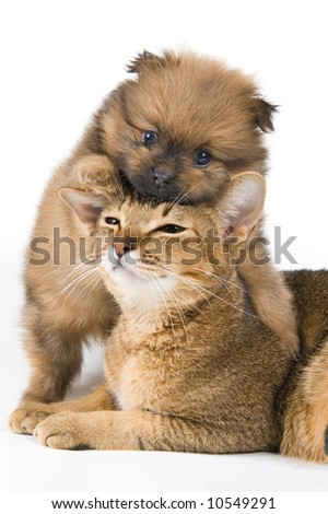 The puppy of the spitz-dog with a cat - stock photo