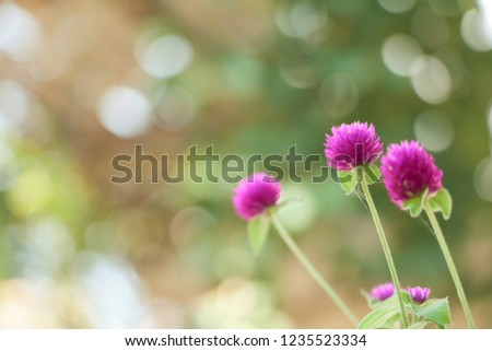 The purple grass flowers with warm sunrise, warm tone, blurred background.