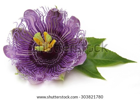 The purple passionflower isolated on white background #303821780