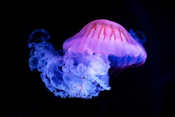 The Purple-striped Jellyfish (Chrysaora colorata) isolated on black background