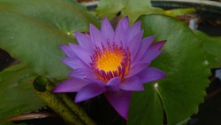 The purple water Lilly in water