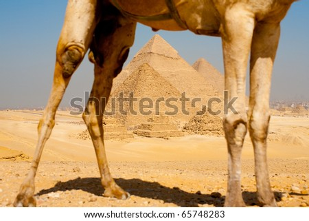 The pyramids are framed through the legs of a camel on a hill at the necropolis in Giza, Cairo, Egypt