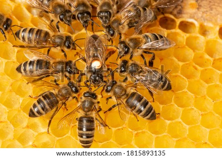 the queen (apis mellifera) marked with dot and bee workers around her - life of bee colony Сток-фото ©