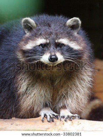 The raccoon (Procyon lotor) in National Park Bavarian Forest - Germany Europe