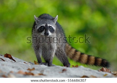 The Raccoon, Procyon lotor, walking on white sandy beach in National Park Manuel Antonio, Costa Rica.