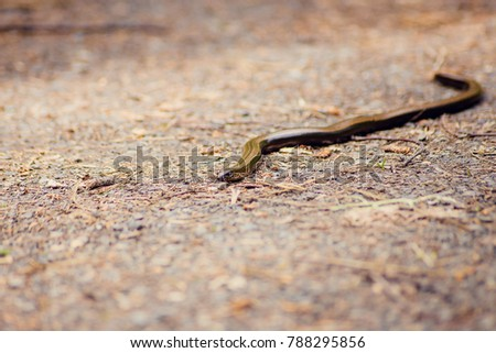 The radiated ratsnake, copperhead rat snake, or copper-headed trinket snake (Coelognathus radiata) is a nonvenomous species of colubrid snake. #788295856