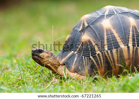 The radiated tortoise, endemic turtle from south of Madagascar
