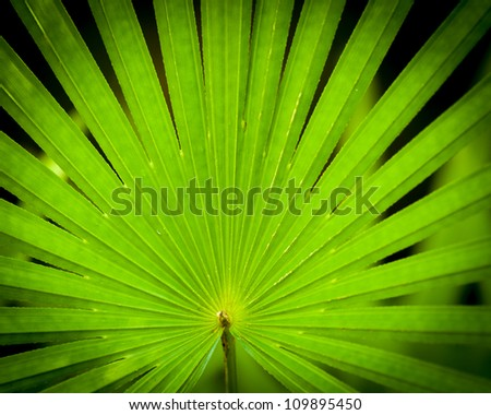 the radiating leaflets of a finger palm make a nice pattern