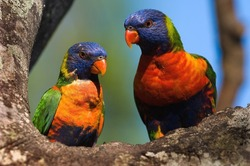The Rainbow Lorikeet, Trichoglossus haematodus is a species of Australasian parrot found in Australia, Indonesia , Papua New Guinea, New Caledonia, Solomon Islands and Vanuatu.