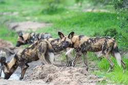 The Rare African Wilddog seen on a safari in south africa.