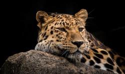 The Rare and Beautiful Amur Leopard