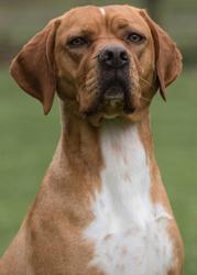 The Rare Portuguese Pointer Dog