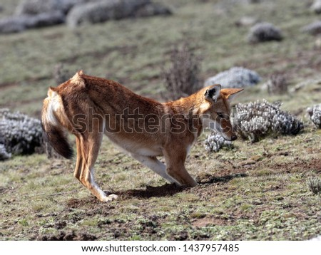 The Rarest Canine Beast,Ethiopian wolf,  Canis simensis, Big-headed Hunting African Mole-Rat, Sanetti Plateau, Bale National Park, Ethiopia #1437957485